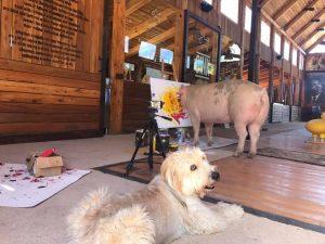 Пігассо – свиня, чиї картини продають за $2000.