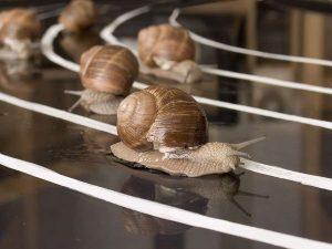 Гонку равликів скасували, бо всі учасники… впали в сплячку