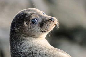 Тюленятко привело до затору на дорозі в Шотландії