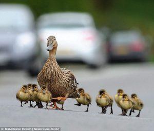 Безкінечна зграя качок перекрила дорогу