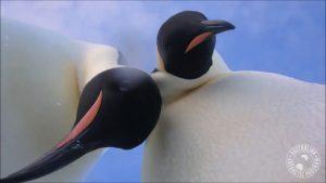 В Антарктиді імператорські пінгвіни знайшли камеру і зробили селфі