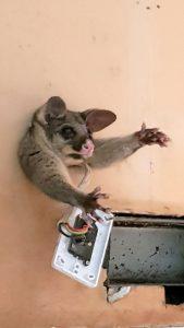 В пошуках їжі опосум застряг у стіні кухні